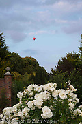 Rosa possibly 'Iceberg' with a hot air balloon - September