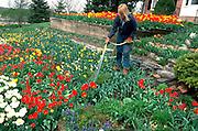 30 year old female gardener watering prize winning tulips.  Edina  Minnesota USA