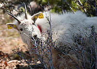 Sporting a new set of ear tags, the female mountain goat nibbles on a bush while recovering from the sedation. Biologists hope the capture and collaring effort will help them learn more about the goat herd's health and migration habits.