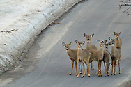 Middletown, New York  - A herd of white-tailed deer stand in the road on  Feb. 23, 2014.