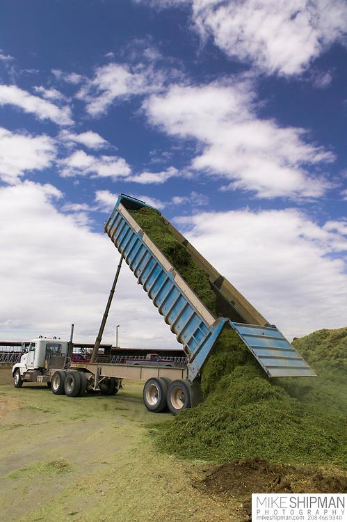 Roundup Ready ® alfalfa (Medicago sativa) being dumped for haylidge on Jerry Tlucek's Dairy Farm, Melba, Idaho