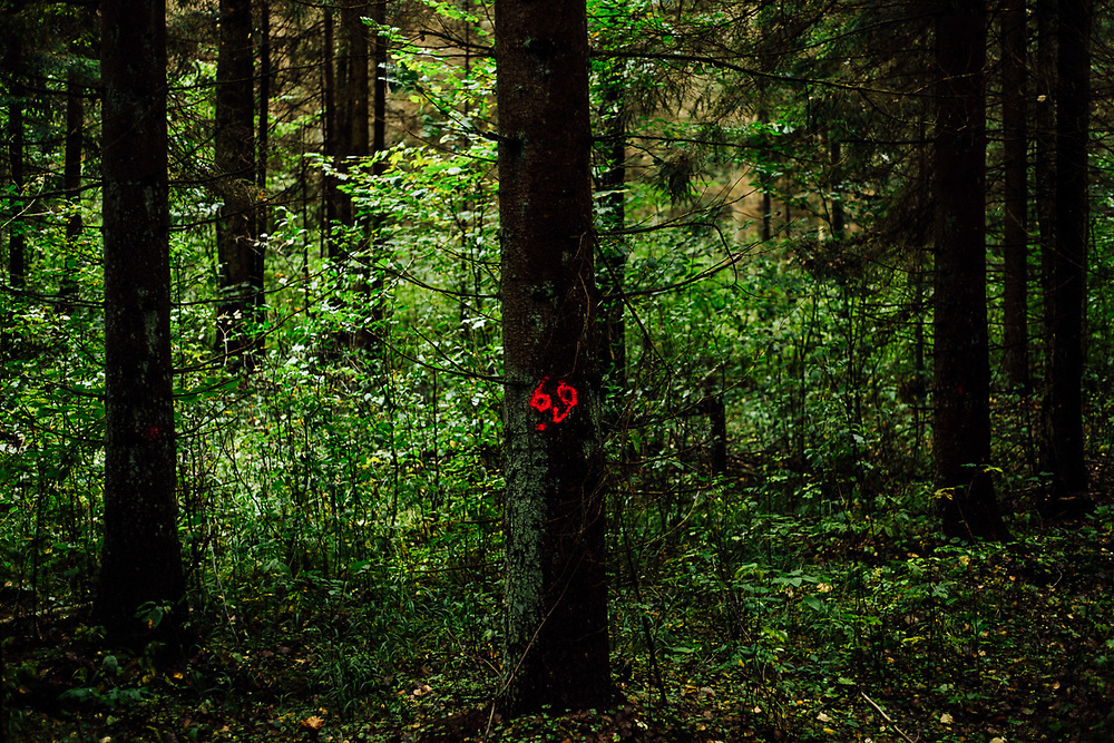 Marked trees in Bialowieza forest.