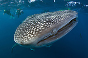 A Whale Shark (Rhincodon typus), the world's largest fish, makes a rare appearance off the coastline of Palm Beach, FL.