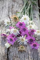 Xeranthemum annuum - Annual everlasting, Common everlasting, Immortelle