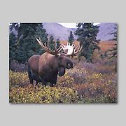 Alaska. Moose. Alces alces.