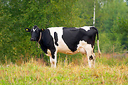 Cow Black and white Profile Smaland region. Sweden, Europe.