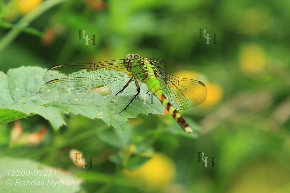 Green dragonfly, Eastern Pondhawk (Erythemis simplicicollis) perches amid yellow flowers in July at Shiawassee National Wildlife Refuge; Saginaw, Michigan.