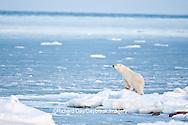 01874-12013 Polar Bear (Ursus maritimus) standing along Hudson Bay in winter, Churchill Wildlife Management Area, Churchill, MB Canada