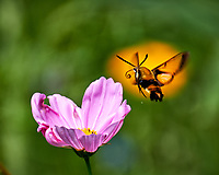 Clearwing Hummingbird Moth approaching a Pink Cosmos wildflower. Backyard summer nature in New Jersey. Image taken with a Fuji X-T2 camera and 100-400 mm OIS telephoto zoom lens (ISO 200, 400 mm, f/5.6, 1/500 sec).