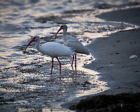 Pair of White Ibis at the edge of the water. Sunrise at Fort De Soto Park. Pinellas County, Florida Image taken with a Fuji X-T2 camera and 100-400 mm OIS lens (ISO 500, 400 mm, f/5.6, 1/60 sec).