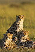 Cheetah<br /> Acinonyx jubatus<br /> Three males (male coalition)<br /> Masai Mara Reserve, Kenya