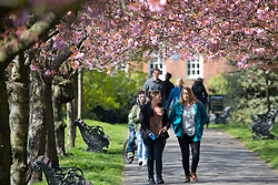 © Licensed to London News Pictures. 01/05/2016. Famous avenue of cherry blossom in Greewich Park pictured on the first day of May. Credit: Rob Powell/LNP