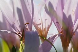 wilde herfsttijloos, Colchicum autumnale
