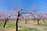 Peach orchard in bloom<br />Beamsville<br />Ontario<br />Canada