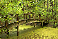 NC01277-00...NORTH CAROLINA - Arched bridge over a marsh on a trail through a  maritime forest at Nags Head Woods Preserve on the Outer Banks at Nags Head.