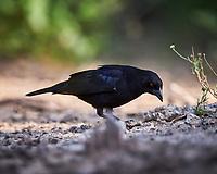 Bronzed Cowbird (Molothrus aeneus). Campos Viejos, Texas. Image taken with a Nikon D4 camera and 500 mm f/4 VR lens.