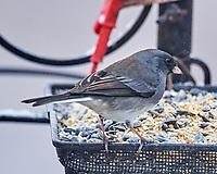 Dark-eyed Junco (Junco hyemalis). White-throated Sparrow<br /> Zonotrichia albicollis