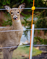 Doe behind the Electric Fence. Image taken with a Fuji X-T2 camera and 100-400 mm OIS lens (ISO 400, 400 mm, f/5.6, 1/60 sec).
