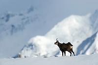 01.11.2008.Chamois (Rupicapra rupicapra) in alpine landscape. Rutting behaviour..Gran Paradiso National Park, Italy