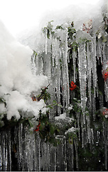 © under license to London News Pictures.2.12.2010 Icicles formed in the freezing weather on a berry bush in Orpington.Kent.. Picture credit should read Grant Falvey/London News Pictures