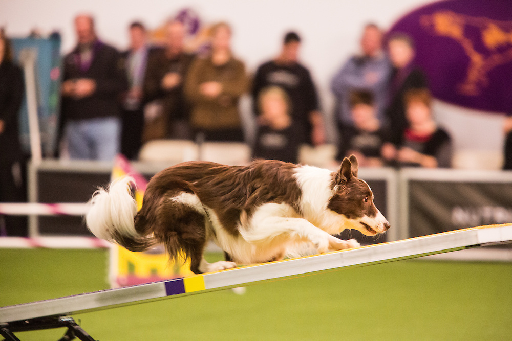 New York, NY - 8 February 2014. Border collie Kelso waiting for the seesaw to tip down. Kelso placed first in the 20-inch class in the agility trials.