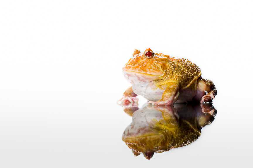 Albino Pac-man Frog