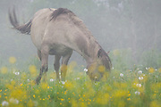 "Konik horse (Equus ferus caballus) browsing grass in meadow with dandelions and buttercups on grey foggy morning, nature park ""Dvietes paliene"", Latvia Ⓒ Davis Ulands 