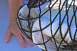 Kemps Ridley In Net