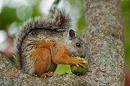 Variegated Squirrel, Sciurus variegatoides
