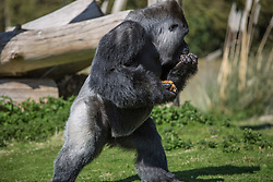 @Licensed to London News Pictures 14/04/2015.Port Lympne, near Ashford, Kent. AmBam, a male Western Lowland Gorilla, celebrates his 25th birthday at Port Lympne Animal Reserve in Kent today (14/04/15). Ambam became an online sensation last year when he was filmed walking like a human. Photo credit: Manu Palomeque/LNP