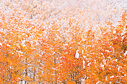 Fresh snow on fall aspens along Bishop Creek, Inyo National Forest, Sierra Nevada Mountains, California