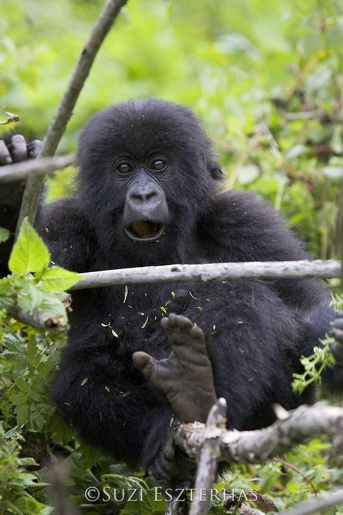 Mountain Gorilla<br /> Gorilla gorilla beringei<br /> 1.5 year old baby<br /> Parc National des Volcans, Rwanda