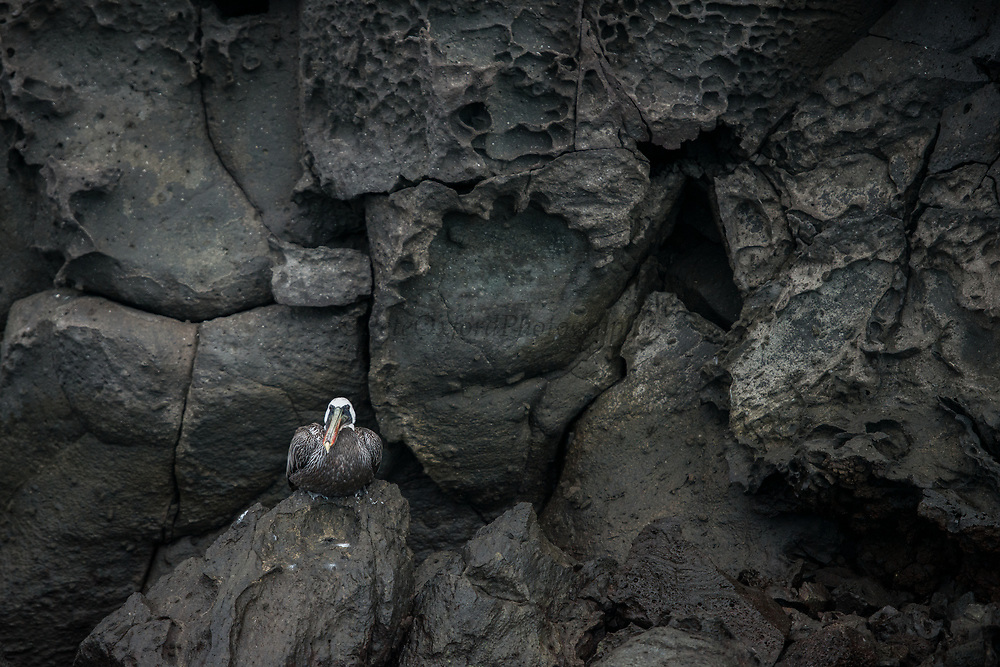 Brown Pelican (Pelecanus occidentalis urinator)<br /> Tower Island<br /> Galapagos<br /> Ecuador,  South America