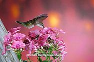 01162-061.20 Ruby-throated Hummingbird (Archilochus colubris) female at Garden Phlox (Phlox paniculata) Shelby Co. IL