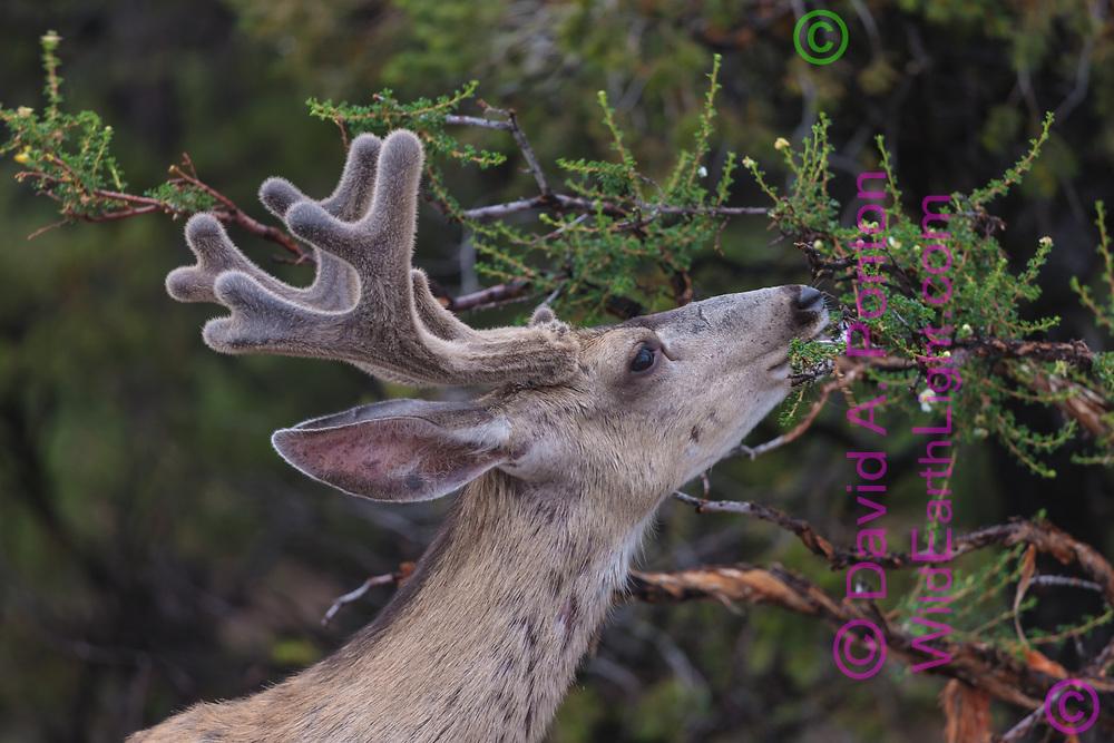 Mule deer buck browsing cliffrose, pinon -juniper woodland along the south rim of the Grand Canyon, Grand Canyon National Park, © David A. Ponton
