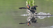 WATERFOWL IN THE YELLOWSTONE ECOSYSTEM