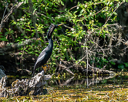 Male Anhinga perched upon a stump on the Silver River in Ocala Florida.