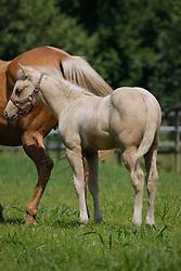 Quarter Horse<br /> Photo © Hippo Foto