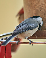 Black-capped Chickadee (Poecile atricapillus). Image taken with a Nikon D800 camera and 600 mm f/4 VR lens.