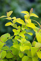 The foliage of Hypericum 'Golden Beacon' syn. 'Wilhyp' AGM - Tall tutsan