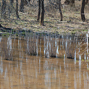 A cluster of rushes in the spring flood.  D and R Canal, Hillsborough, NJ