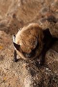 A Western small-footed bat (Myotis ciliolabrum) roosting on a rock at night.  Near Sulphur Springs, high desert Washington.
