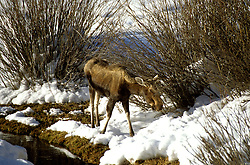 WY: Grand Teton National Park, Wyoming, young Moose in winter     .Photo Copyright: Lee Foster, lee@fostertravel.com, www.fostertravel.com, (510) 549-2202.Image: wygran210