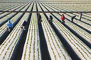 Farm Workers, Strawberry Fields Near Oceano and Guadalupe, California Coast, Strawberry Fields, Central Coast, Santa Maria County