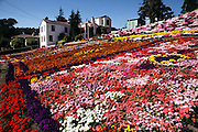 Private flower gardens attended by retired homeowner, Mr. Shadi, in El Cerrito, California, USA.