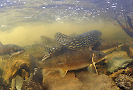 White Sucker (with Northern Pike)<br /> <br /> Paul Vecsei/Engbretson Underwater Photography