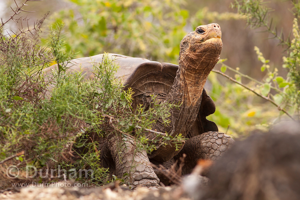 A giant galapagos tortoise (Geochelone elephantopus) with a saddle-backed carapace. Darwin Center, Santa Cruz Island, Galapagos Archipelago - Ecuador.