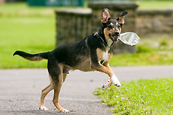 Young playful Black and Tan juvenile mongrel dog plays with a discarded plastic bottle found in the park  <br /> <br /> Wallace Walk 22 July  Copyright Paul David Drabble