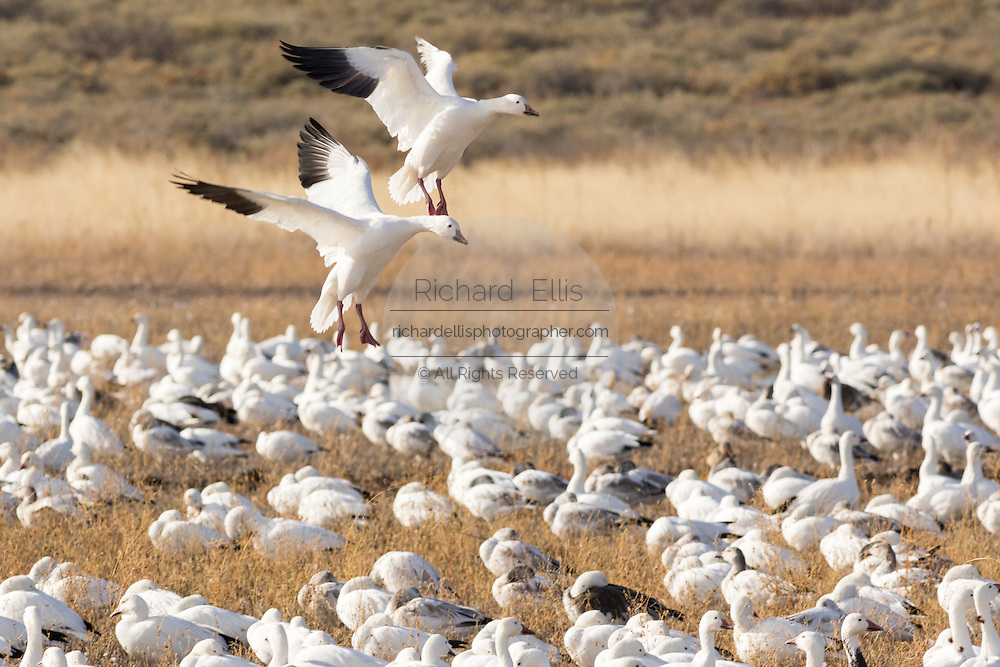Snow geese carefully land in a crowded field as they gather to feed and mingle in their winter home at the Bosque del Apache National Wildlife Refuge in San Antonio, New Mexico. About 32,000 snow geese overwinter at the refugee and move in mass during the morning and evenings.