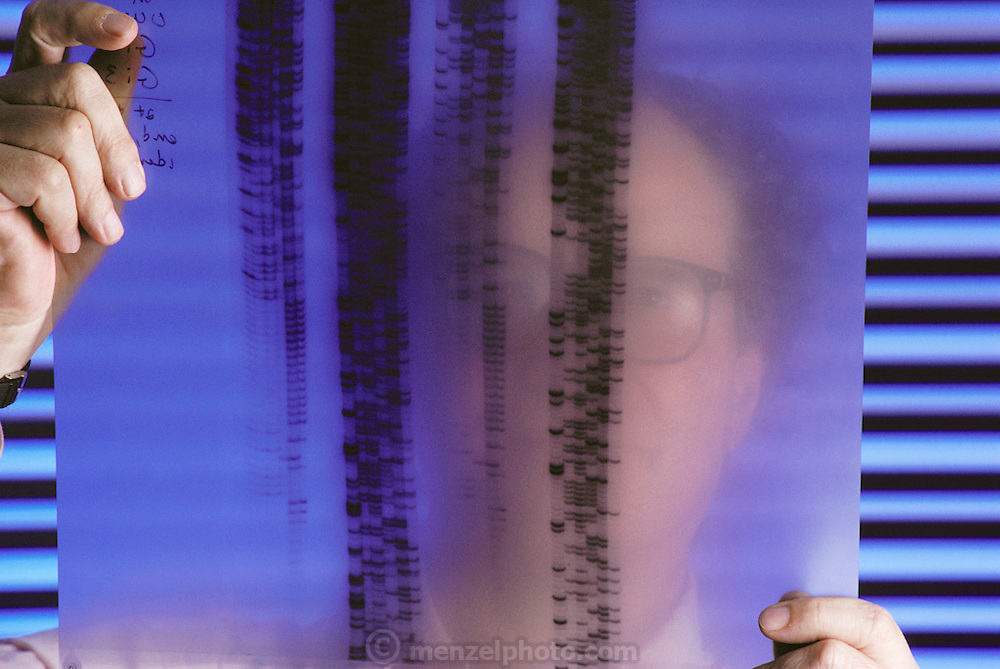 Harvard scientist Walter Gilbert studying a DNA sequencing autoradiogram, made in the course of research associated with the human genome project. The term genome describes the full set of genes expressed by an organism's chromosomes. A gene is a section of DNA that instructs a cell to make a specific protein. The task of constructing such a complete blueprint of genetic information for humans is divided into two main phases: mapping genes and other markers on chromosomes, and decoding the DNA sequences of genes on all the chromosomes. Numerous laboratories worldwide are engaged on various aspects of genome research. MODEL RELEASED.